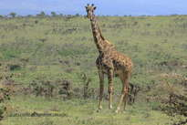 jirafa observando