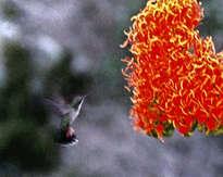 colibrí 3