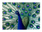 cristatus azul