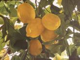 limones de mondrón