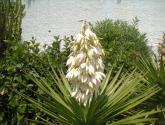yuca flor.
