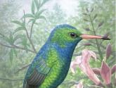 C.aureoventri