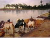 vacas bebiendo en el cauca