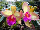 orquideas gemelas 1.jpg