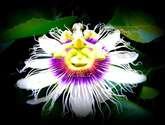 flor de parcha