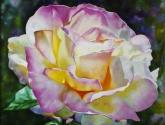 la hermosura de la rosa   the beauty of the rose