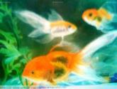 peces decorativos