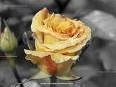 capullo amarillo
